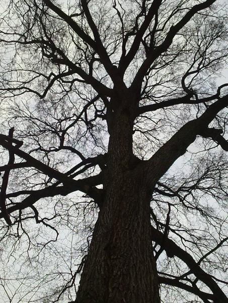 Вяз Самоубийц в Кузьминском парке Москвы